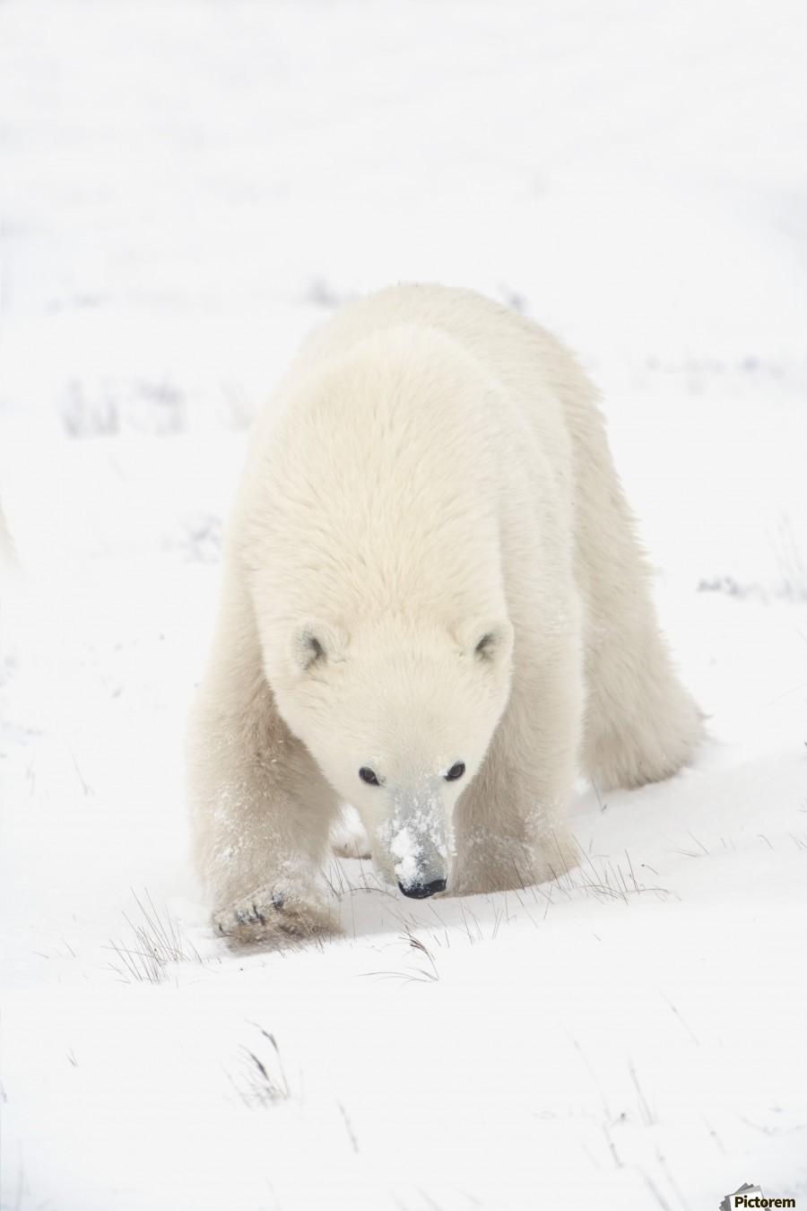 Curious Young Polar Bear (Ursus Maritimus) Exploring; Churchill, Manitoba, Canada  Print