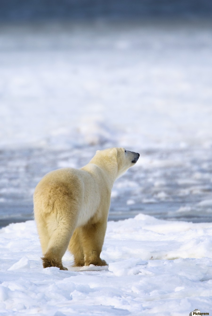 Polar Bear (Ursus Maritimus) Sniffs The Air As He Is On The Hunt For Food; Churchill, Manitoba, Canada  Print