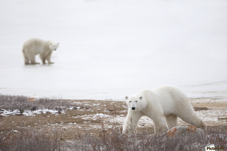 Polar Bears (Ursus Maritimus) Staring Ahead As They Walk Across The Frozen Tundra; Churchill, Manitoba, Canada  Print