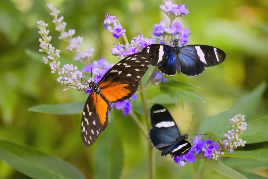 Three Colorful Butterflies On Blossoms In Spring; Oregon, Usa  Print