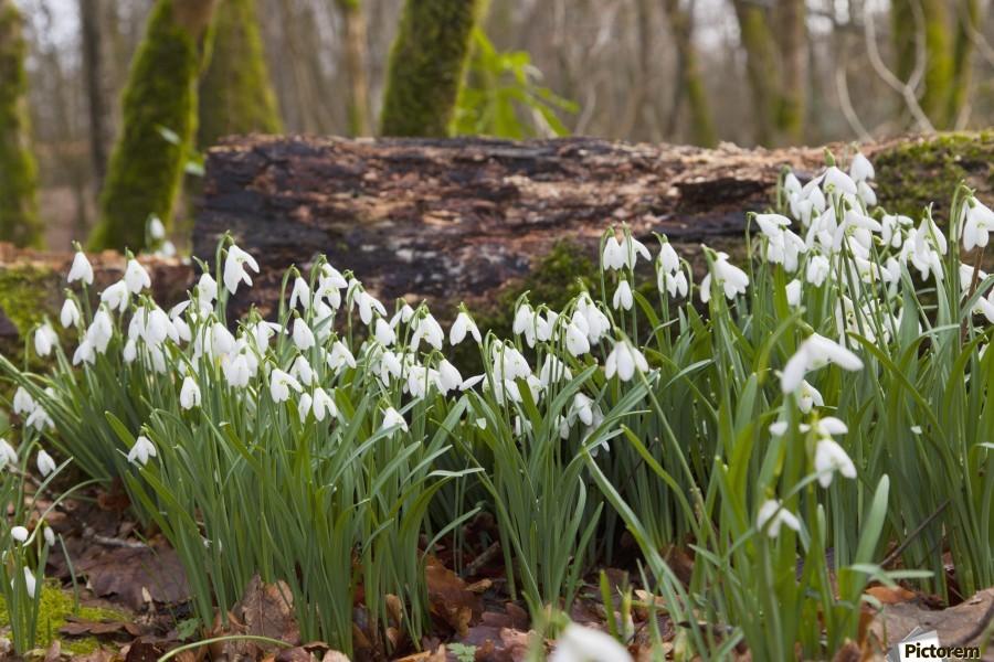 White Flowers Growing On A Forest Floor Beside A Fallen Tree; Dumfries, Scotland  Print