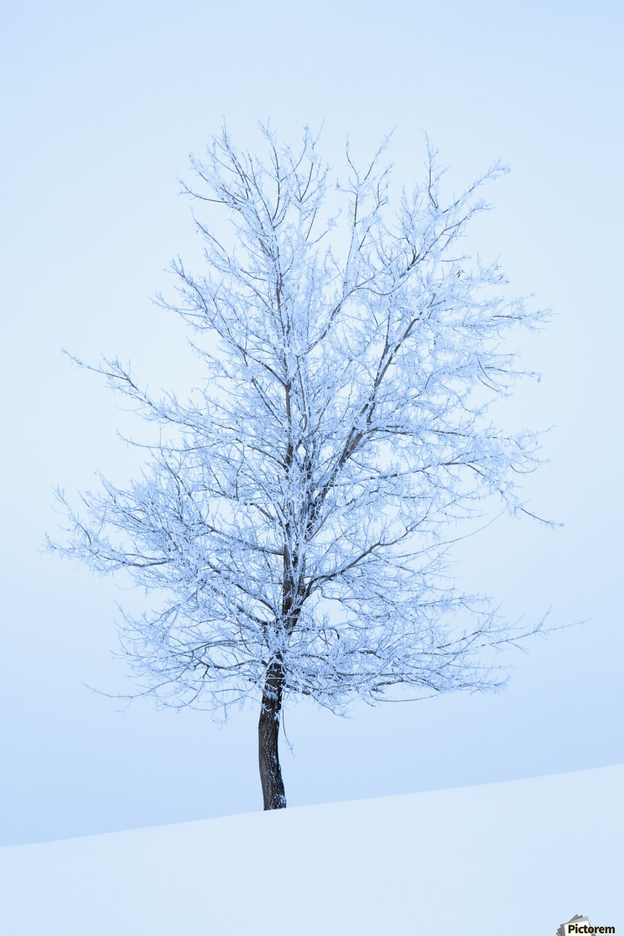 Frost And Snow Cover An Oak Tree; Calgary, Alberta, Canada  Print