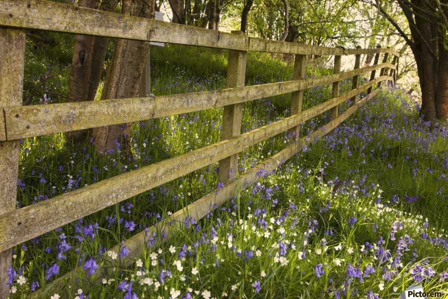 A Wooden Fence In A Forested Area With Blue And White Wildflowers On The Ground; Northumberland, England  Print