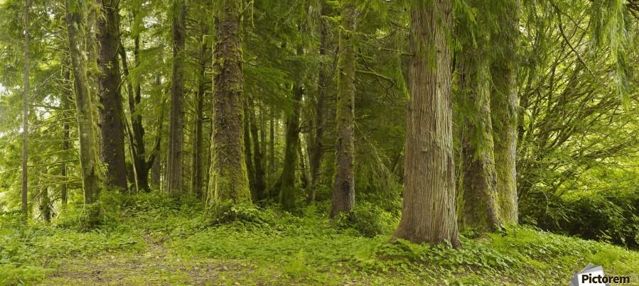 A Lush Forest; Tofino, British Columbia, Canada  Print