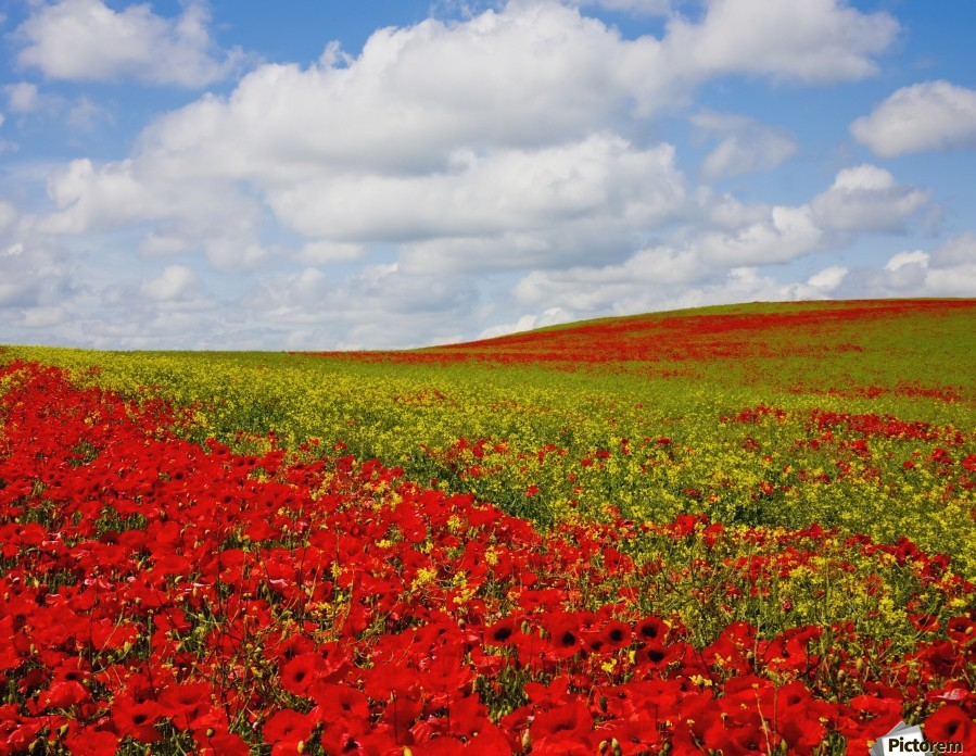 An Abundance Of Red Poppies In A Field; Corbridge, Northumberland, England  Print
