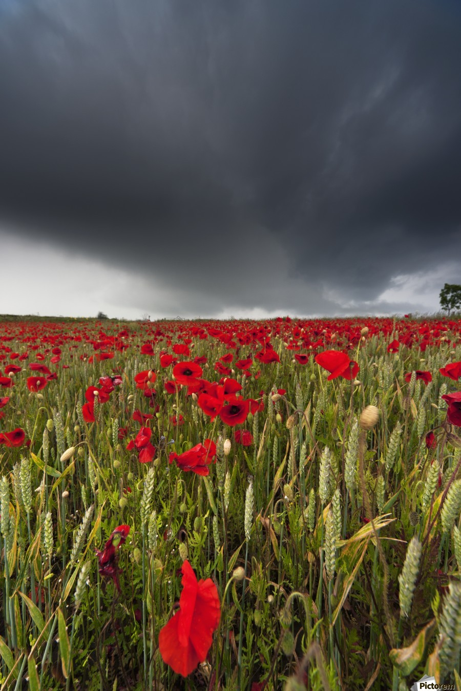 A Field Of Red Poppies Under A Dark Stormy Sky; Northumberland, England  Print