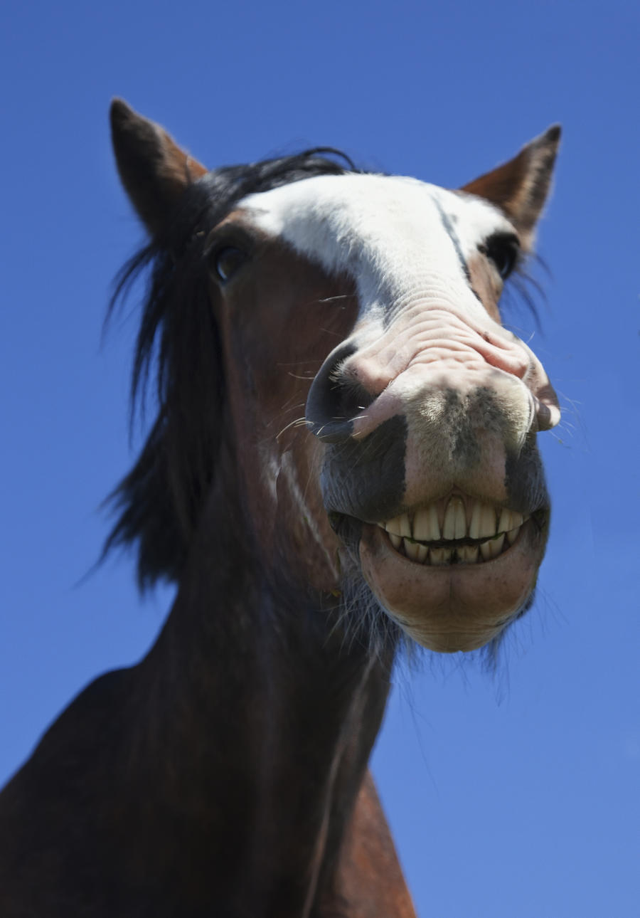 A Horse Smiling And Showing It's Teeth; Northumberland, England  Print