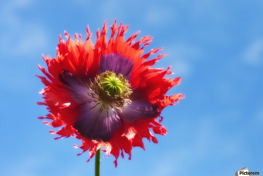 A Colorful Flower With Red And Purple Petals Against A Blue Sky; Northumberland, England  Print