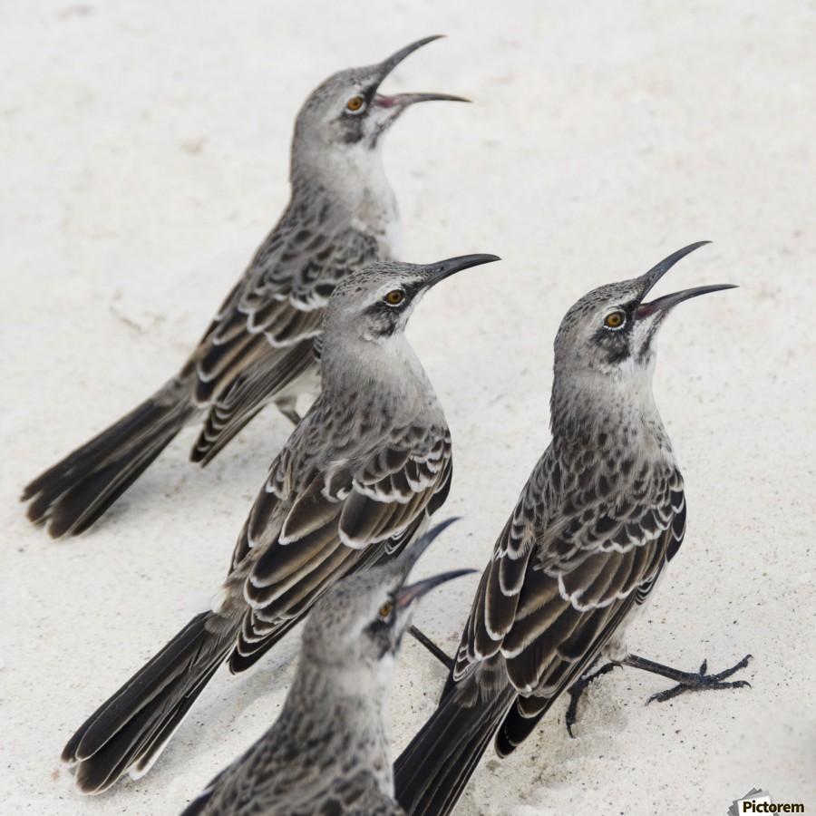 Mockingbirds (Mimidae); Galapagos, Equador  Print