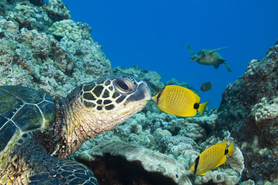 USA, Green Sea Turtle (Chelonia Mydas) Endangered Species And Butterfly Fish; Hawaii Islands  Print