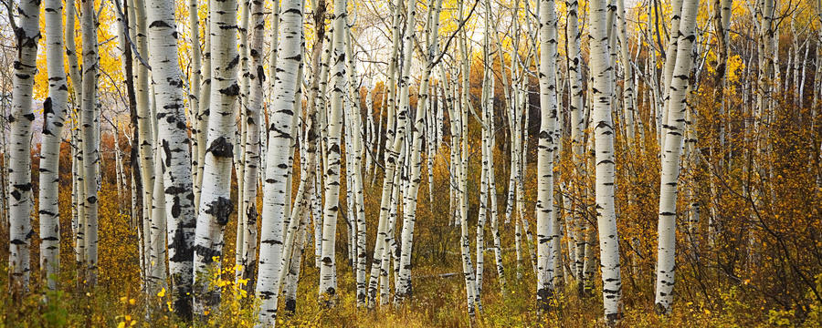 Colorado, Steamboat, Aspen Tree Trunks In Grove, Yellow Autumn Leaves.  Print