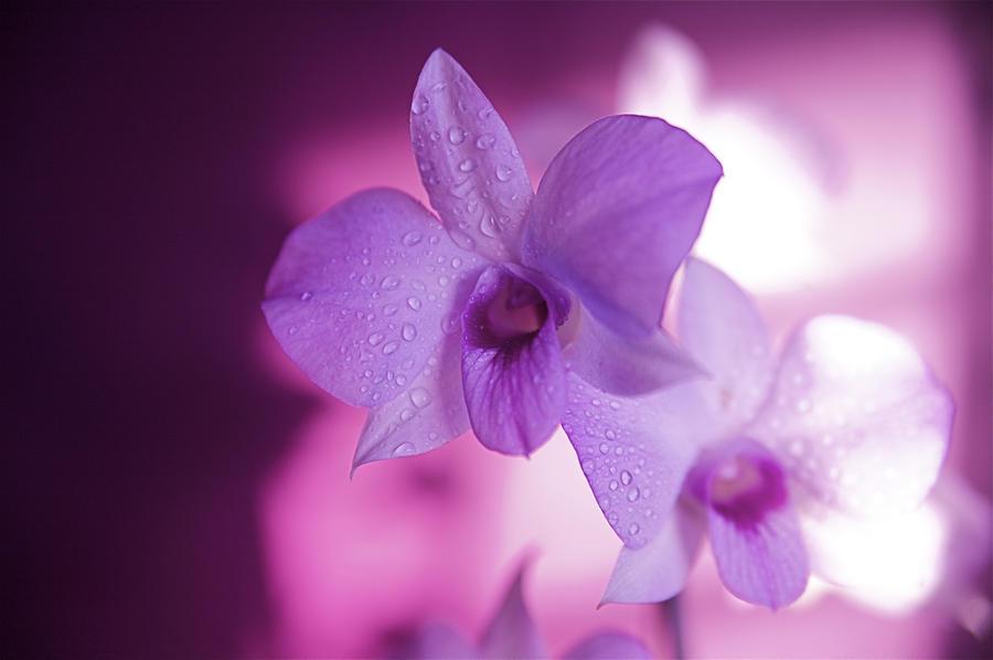 Hawaii, Kauai, White Orchid With Pink Lighting.  Print