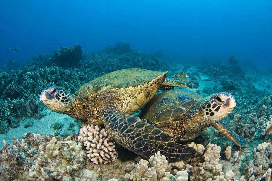 Hawaii, Green Sea Turtles (Chelonia Mydas) Over Coral Reef.  Print