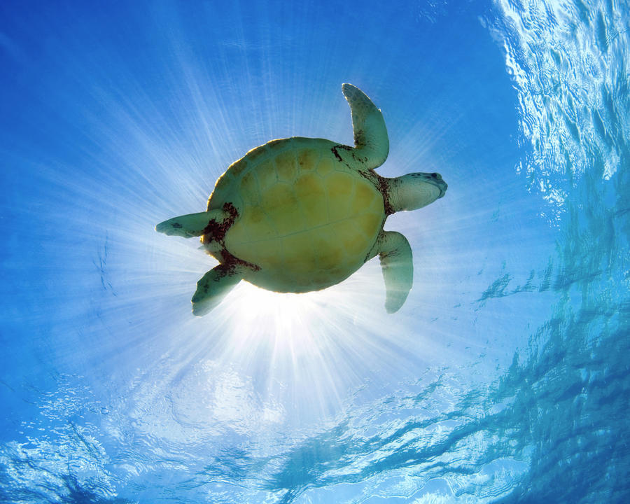 Hawaii, Green Sea Turtle (Chelonia Mydas) An Endangered Species.  Print
