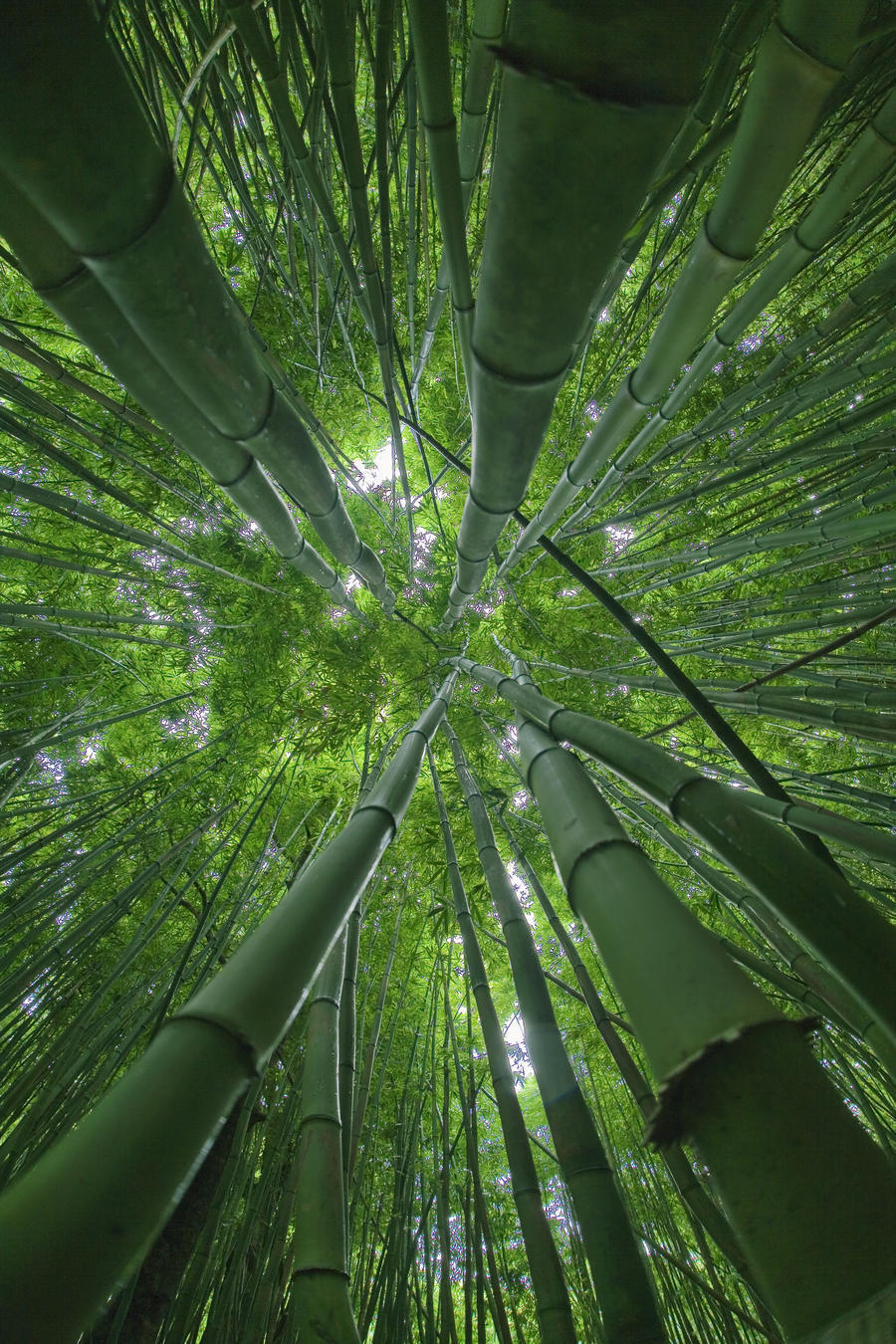 hawaii maui bamboo forest pacificstock canvas hawaii maui bamboo forest