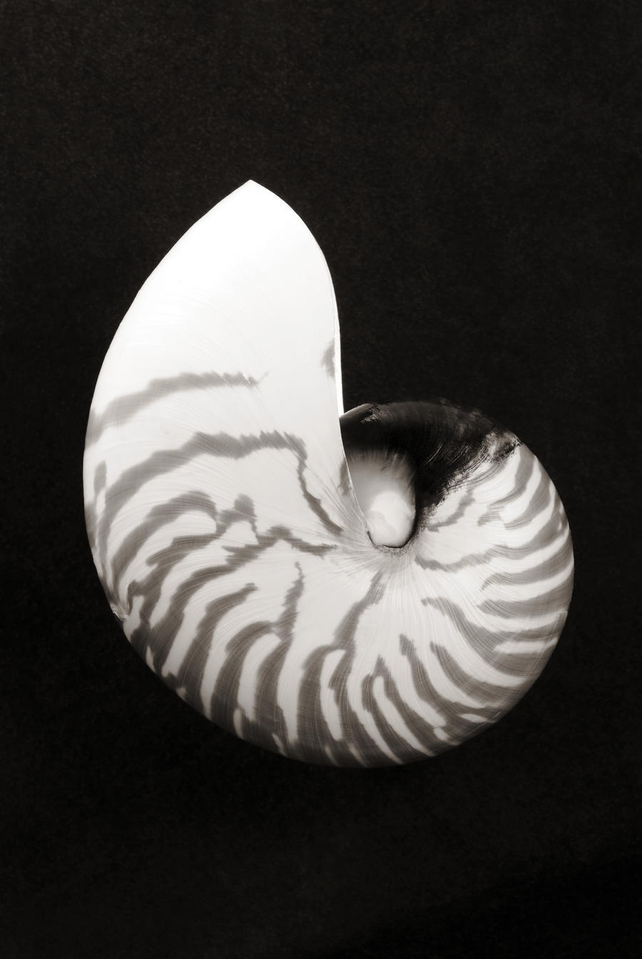Close up of chambered nautilus shell on black background sepia photograph pacificstock canvas artwork