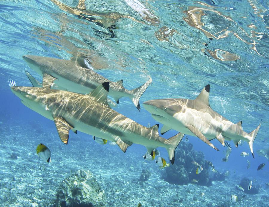 French Polynesia, Rangiroa, Blue Lagoon, Blacktip Reef Shark (Carcharhinus Melanopterus).  Print
