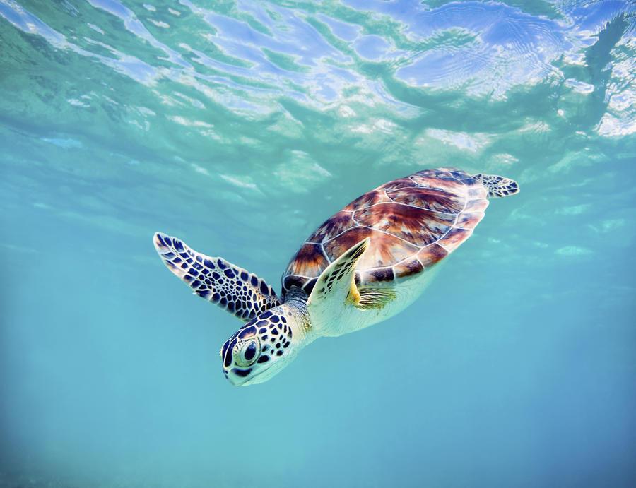 Hawaii, Green Sea Turtle (Chelonia Mydas) An Endangered Species.  Print