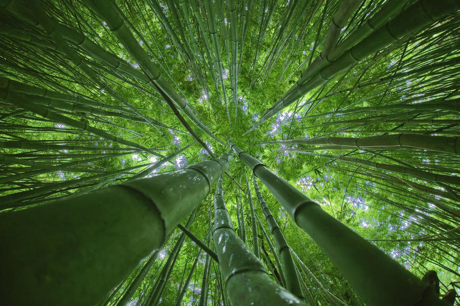 Hawaii Maui Bamboo Forest Pacificstock Canvas