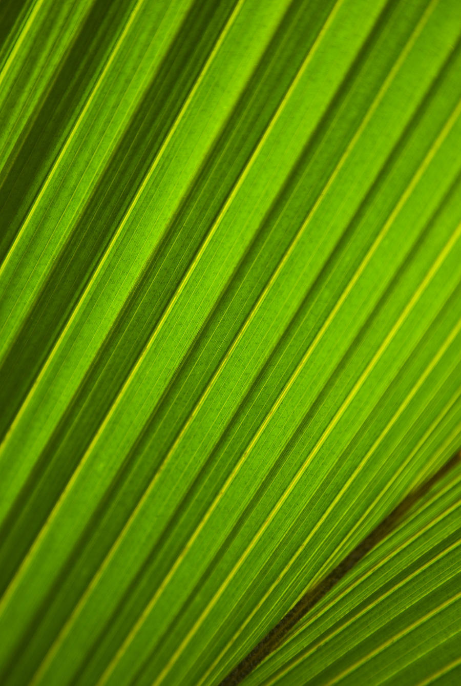 Graphic Detail Of Coconut Palm Leaf.  Print