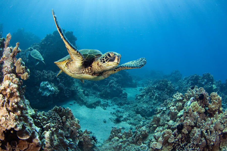 USA, Green Sea Turtle (Chelonia Mydas); Hawaii  Print