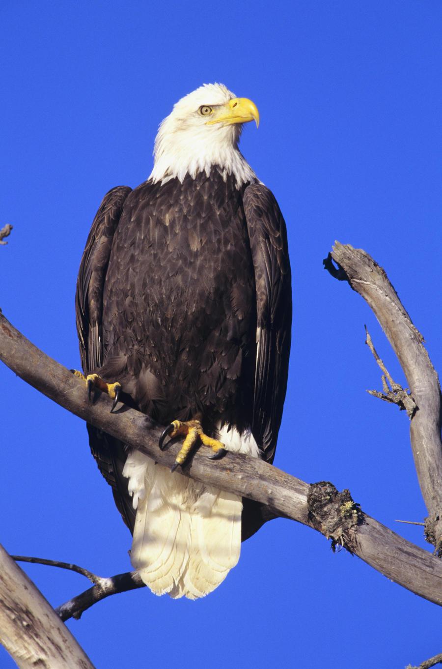 Alaska, Haines Bald Eagle Reserve, Bald Eagle (Haliaeetus Leucocephalus) Perched On A Branch.  Print