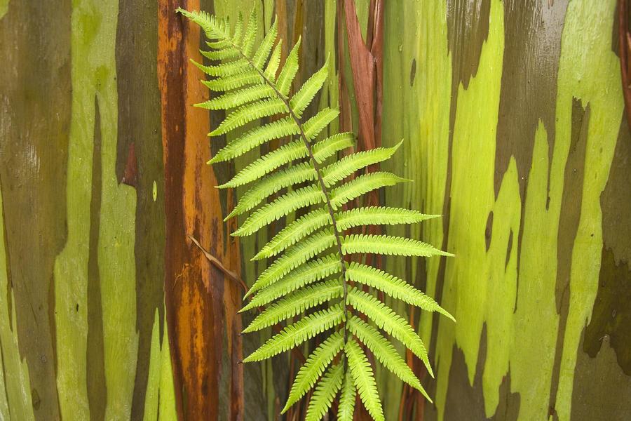 hawaii maui hana fern and rainbow eucalyptus tree pacificstock