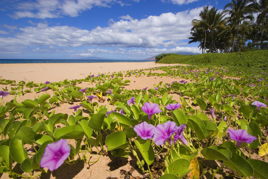 Hawaii maui kihei keawakapu beach green leafy vines with pink vines with pink flowers on canvas print mightylinksfo