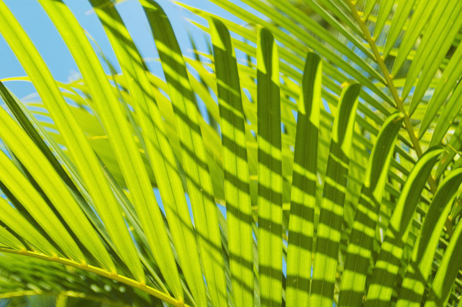 Close-Up Detail Of Light Green Palm Leaves With Shadow Pattern Against Blue Sky  Print