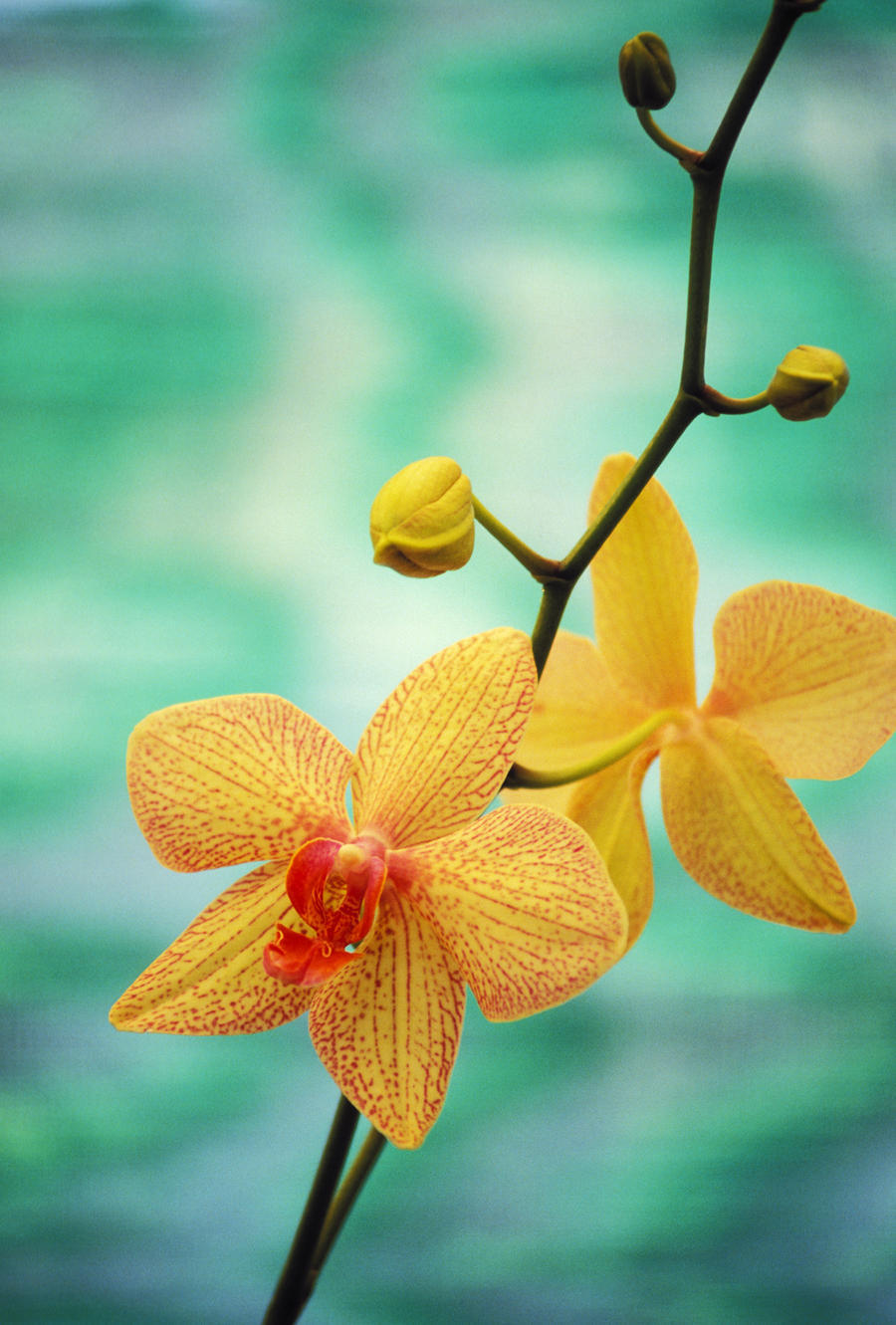 Hawaii yellow dendrobium with orange speckles orchid flower on canvas print izmirmasajfo