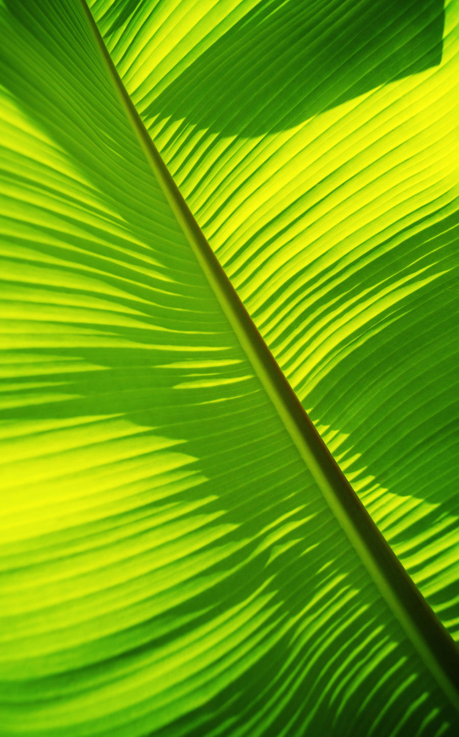 Close Up Of Bright Green Banana Leaf Pattern Forms Off