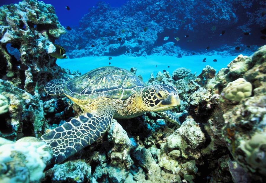 Hawaii, Green Sea Turtle (Chelonia Mydas) On Reef With Tropical Fish  Print