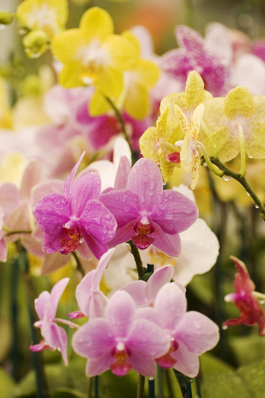 Hawaii, Field Of Pink And Yellow Orchids.  Print