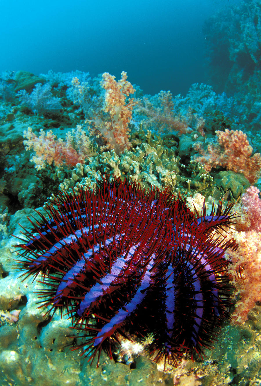 Thailand, Reef Scene With Crown-Of-Thorns Starfish (Acanthaster Planci).  Print