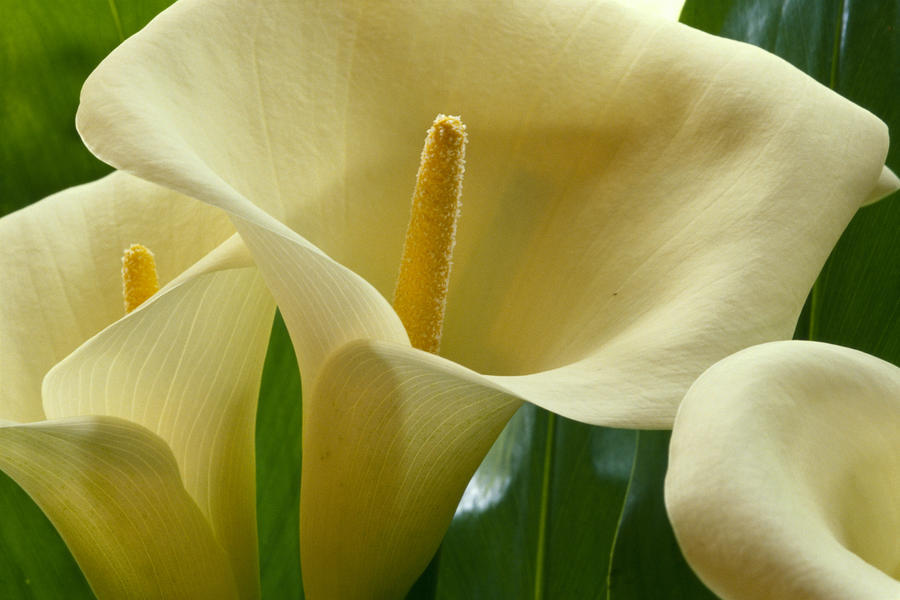 Hawaii, Big Island, Volcano, Calla Lilies, Close-Up B1587  Print