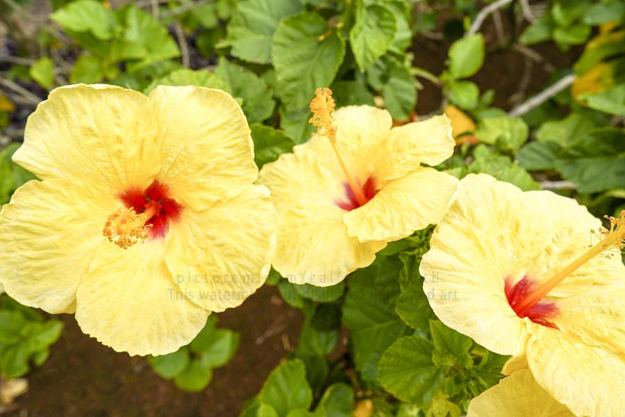 Hibiscus Trio   Tropical Flowers Hawaii  Print