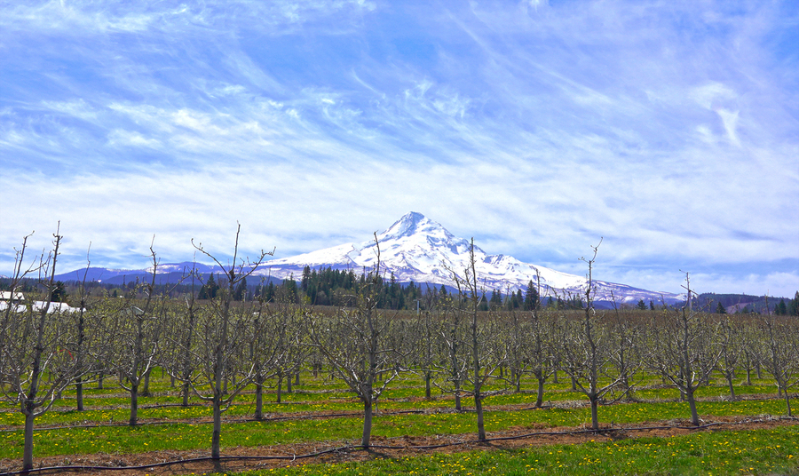 Spring at the Orchards  - Mount Hood - Oregon  Print