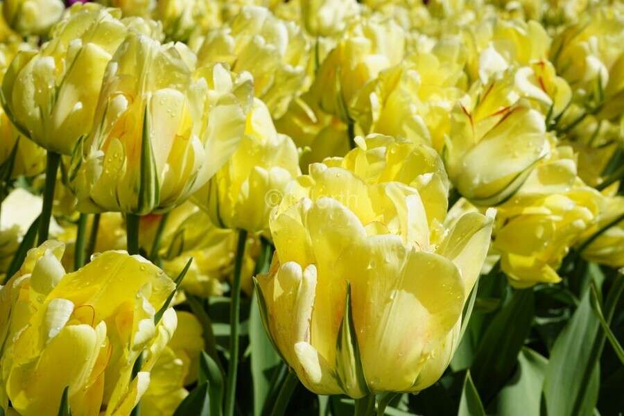 Tulips of the Netherlands 1 of 7  Print