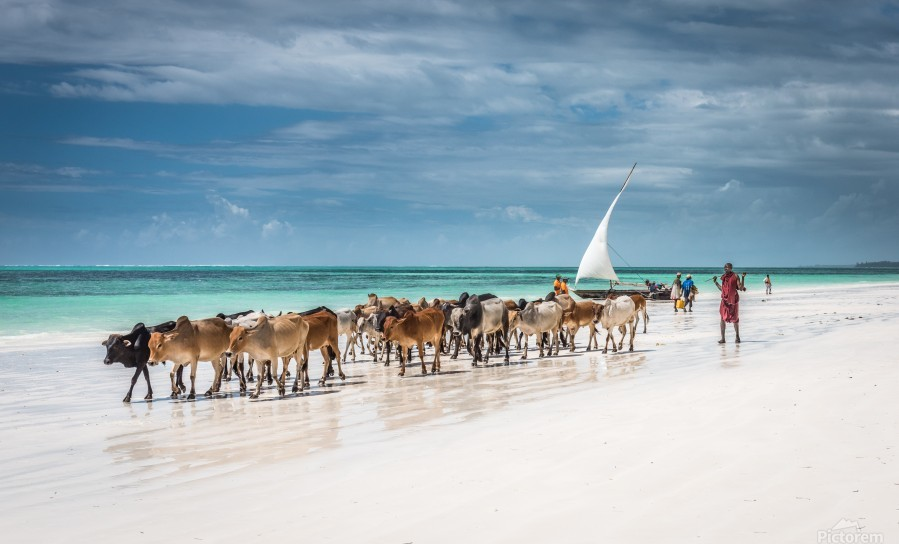 Masai cattle on Zanzibar beach  Print