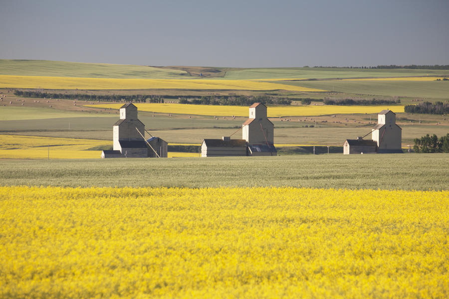 Three Old Wooden Grain Elevators At Sunrise With Flowering Canola Fields In The Foreground And Background; Mosleigh, Alberta, Canada  Print