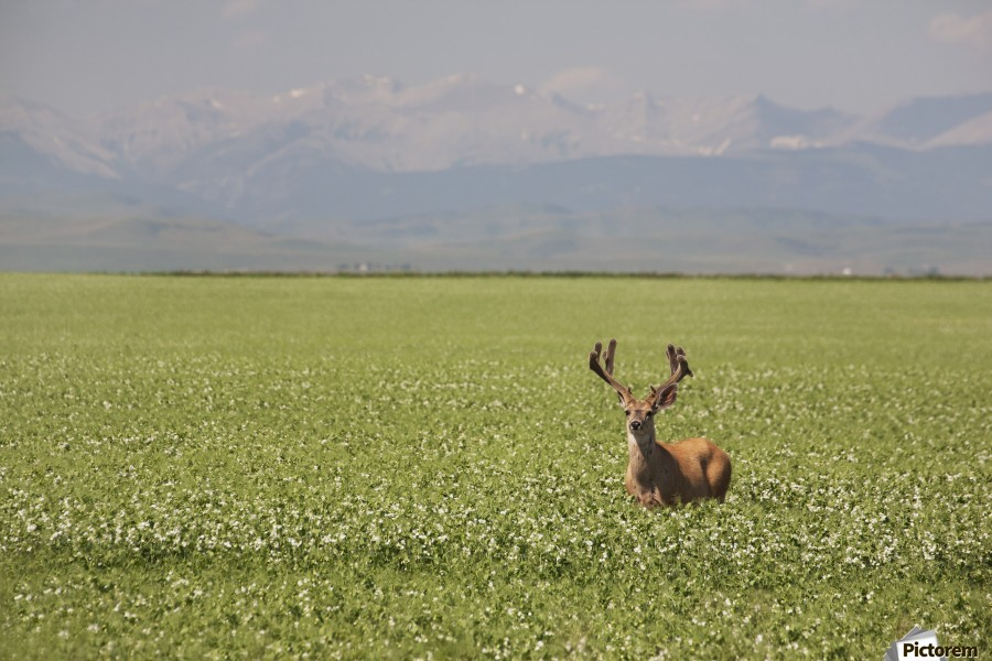 Male Deer With Antlers In A Flowering Pea Field With Mountains And Foothills In The Background; Alberta, Canada  Print