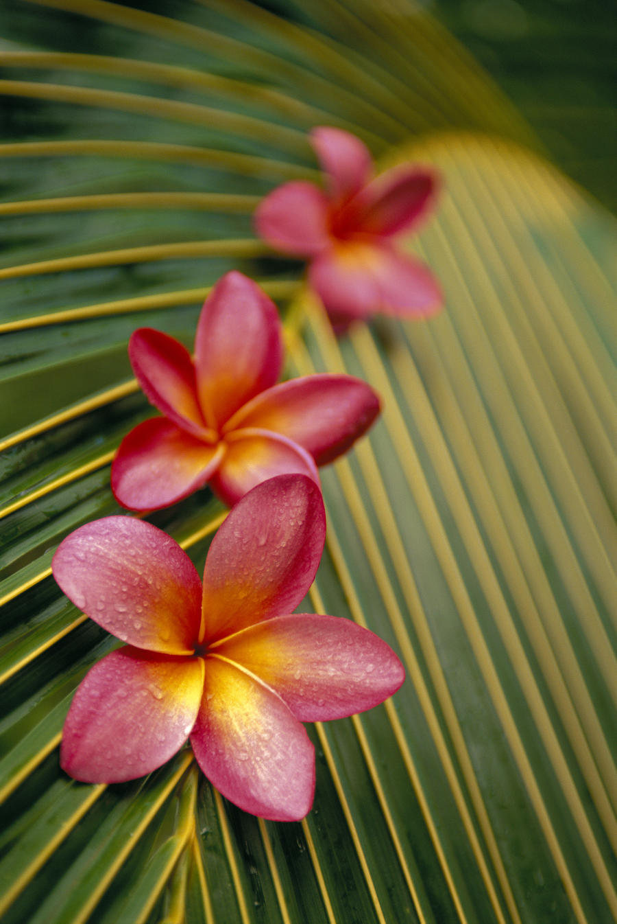 Close-Up Three Pink Plumeria Flowers On Coconut Palm Leaf Selective ...