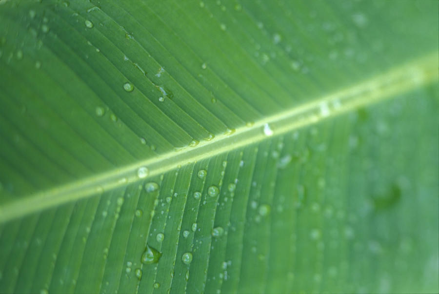Close-Up Detail Green Banana Leaf With Droplets Of Water, Dew  Print