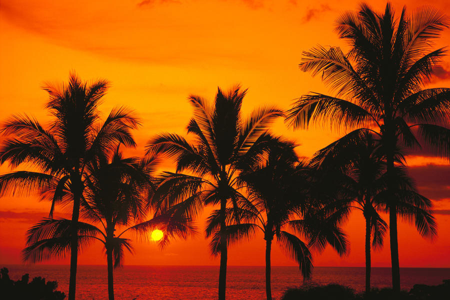 Rows Of Palm Trees Silhouetted By Fiery Orange Sunset Over ...
