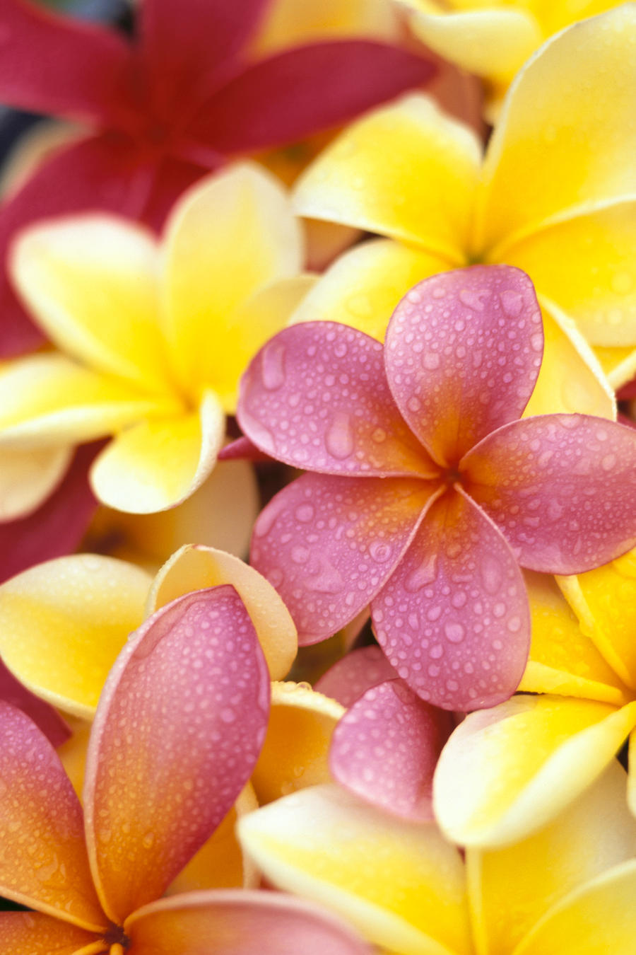 Studio Shot Of Yellow And Two Pink Plumeria Flowers, Water Drops On Petals  Print