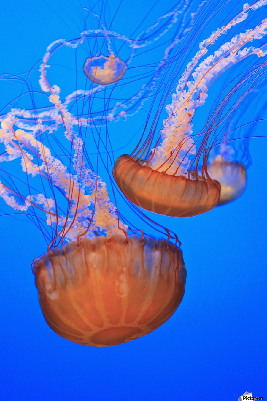 Sea Nettles (Chrysaora Fuscescens) In Monterey Bay Aquarium Display; Monterey, California, United States of America  Print