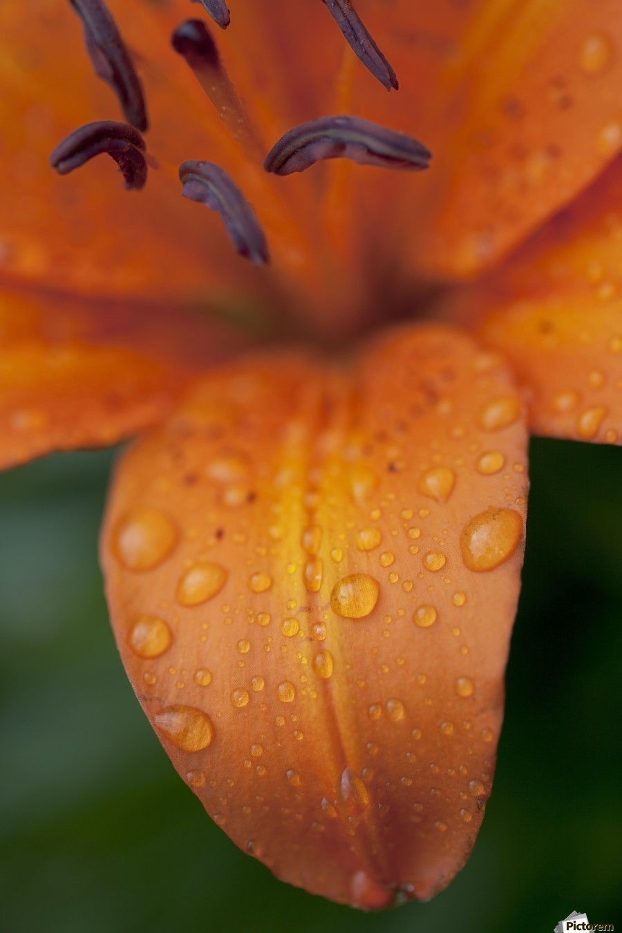 Close Up Of Orange Lily Flower After Rain Beads Of Water On Petals