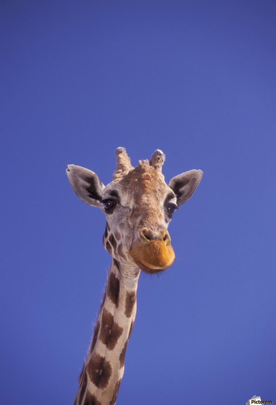 Masai Giraffe, Serengeti, Africa  Print