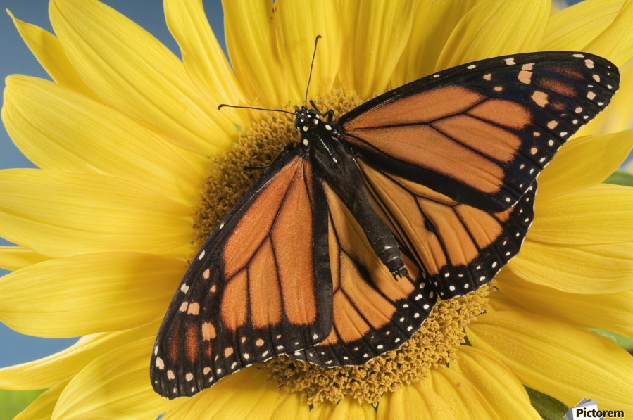 Monarch Butterfly On Sunflower.  Print