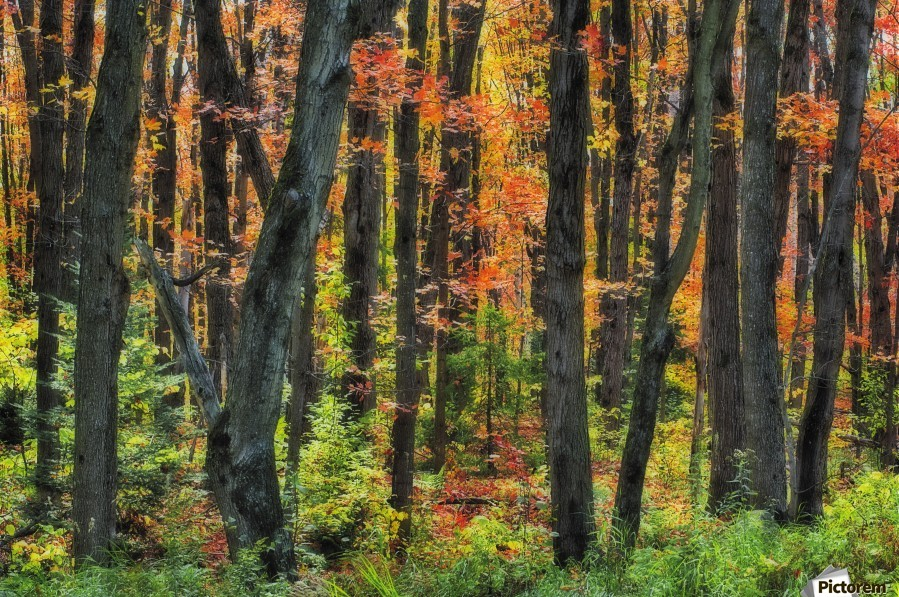 Autumn Sugar Maple, Yellow Birch And Balsam Firtrees. Algonquin Provincial Park, Ontario. Canada.  Print